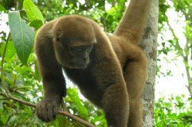 Macaco-barrigudo é um candidato a ir parar na panela em locais onde existe caça de subsistência. Foto: Wikipédia.