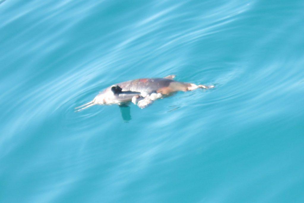Quem está no mar também monitora a degradação nele. Acima, o corpo de uma toninha (Phocoena phocoena) com marca no pescoço aparece boiando no mar. É o golfinho mais ameaçado de extinção do país. Foto: Daniele Bragança.