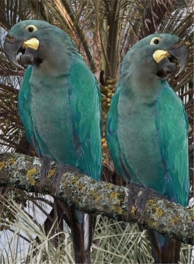 Arara-azul-pequena (Anodorhynchus glaucus). Foto: Wikipédia.