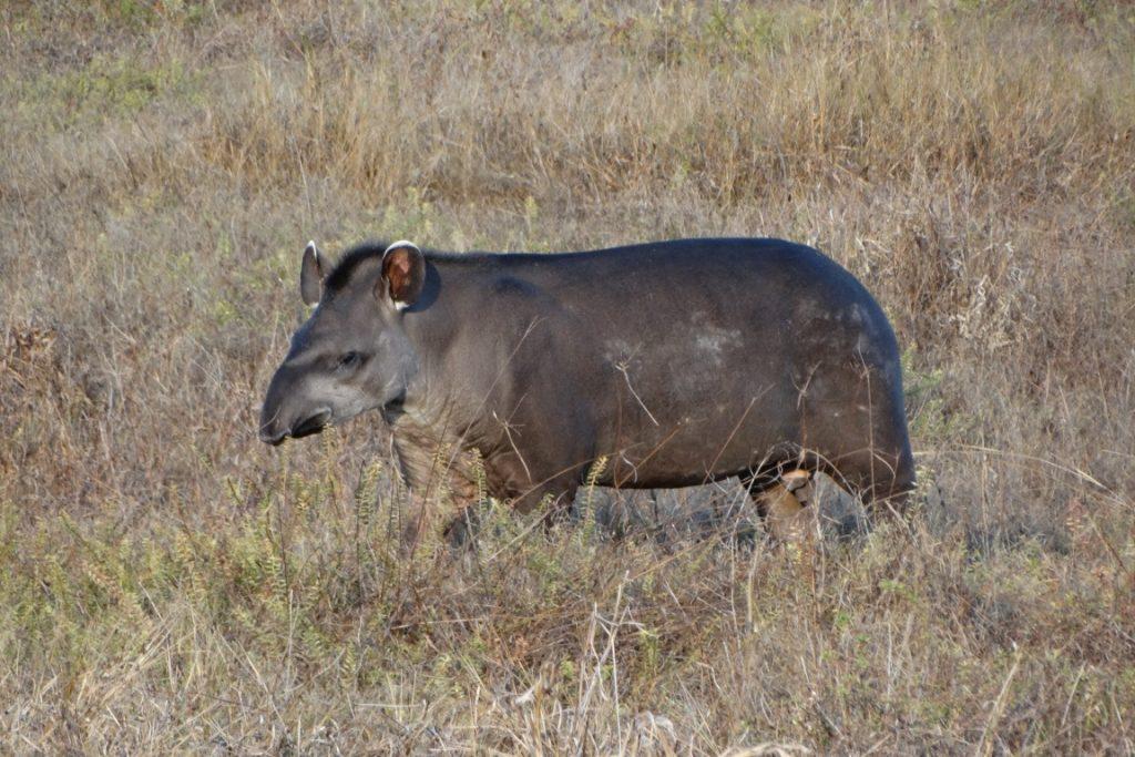 Anta (Tapirus terrestris). Foto: Marcos Freitas.