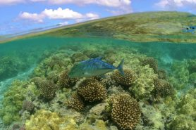 O Monumento Nacional Marinho Papahãnaumokuakea é o abrigo de mais de 7000 espécies marinhas, entre elas, o Xaréu-barbatana-azul (Caranx melampygus). Foto: Monumento Nacional Marinho Papahãnaumokuakea/Flickr.