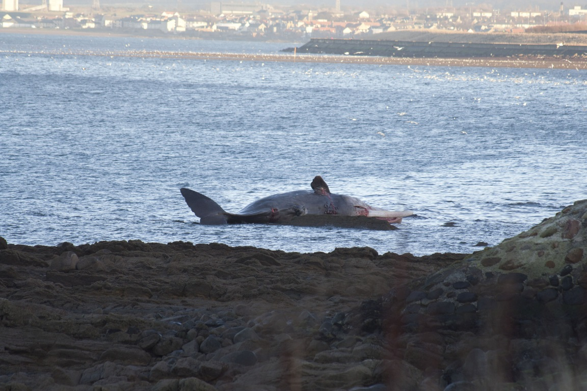 Ainda não se sabe o motivo pelo qual as cachalotes nadaram tão perto da costa, já que são conhecidas por preferir o mar aberto, com águas mais profundas do que 1.000 metros. Foto: Colin Arthur/Flickr.