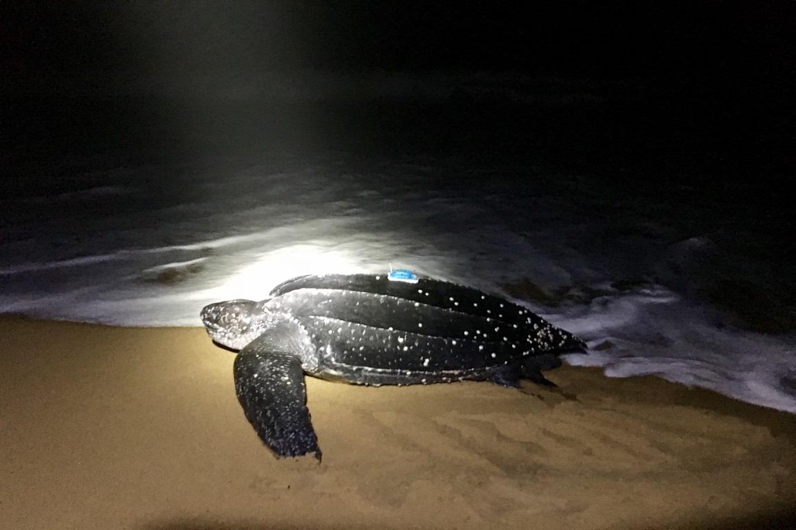 Com o monitoramento via satélite, pesquisadores pretendem obter informações detalhadas sobre as tartarugas-de-couro (Dermochelys coriacea), como área de alimentação e tempo de mergulho. Foto: ICMBio.