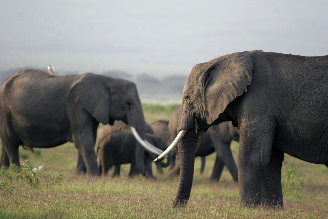 Entende-se como troféus de caça de elefantes partes do corpo do animal, incluindo as presas. Foto: Kimberly Brown-Azzarello/Flickr.