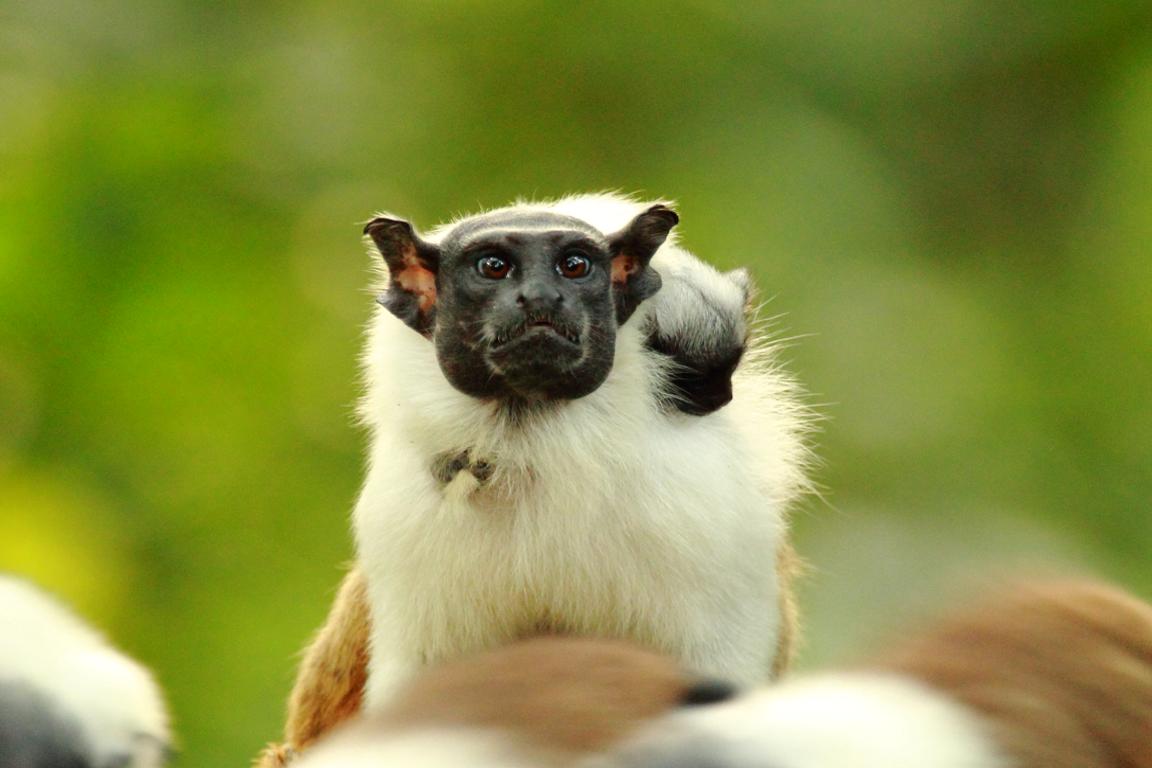 O Saguinus bicolor está classificado como Criticamente em Perigo de extinção, conforme a Lista Vermelha de Espécies Ameaçadas da Fauna Brasileira. Foto: Maurício Noronha/Divulgação.