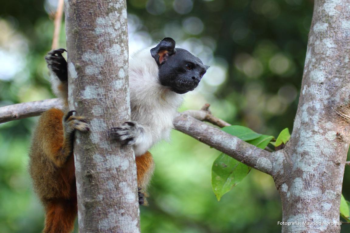 A Campanha Salve o Sauim chama a atenção para o fato de que o sauim-de-coleira está insuficientemente protegido pelas Unidades de Conservação existentes. Foto: Maurício Noronha/Divulgação.