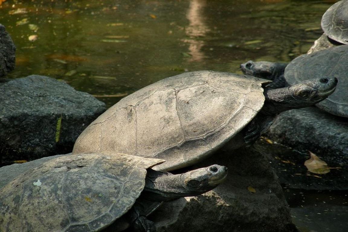 A equipe de fiscalização da Secretaria de Estado de Meio Ambiente (Sema) de Mato Grosso (MT) apreendeu 60 tartarugas-da-amazônia (Podocnemis expansa) Foto: Mario Jorge Martins/Flickr.
