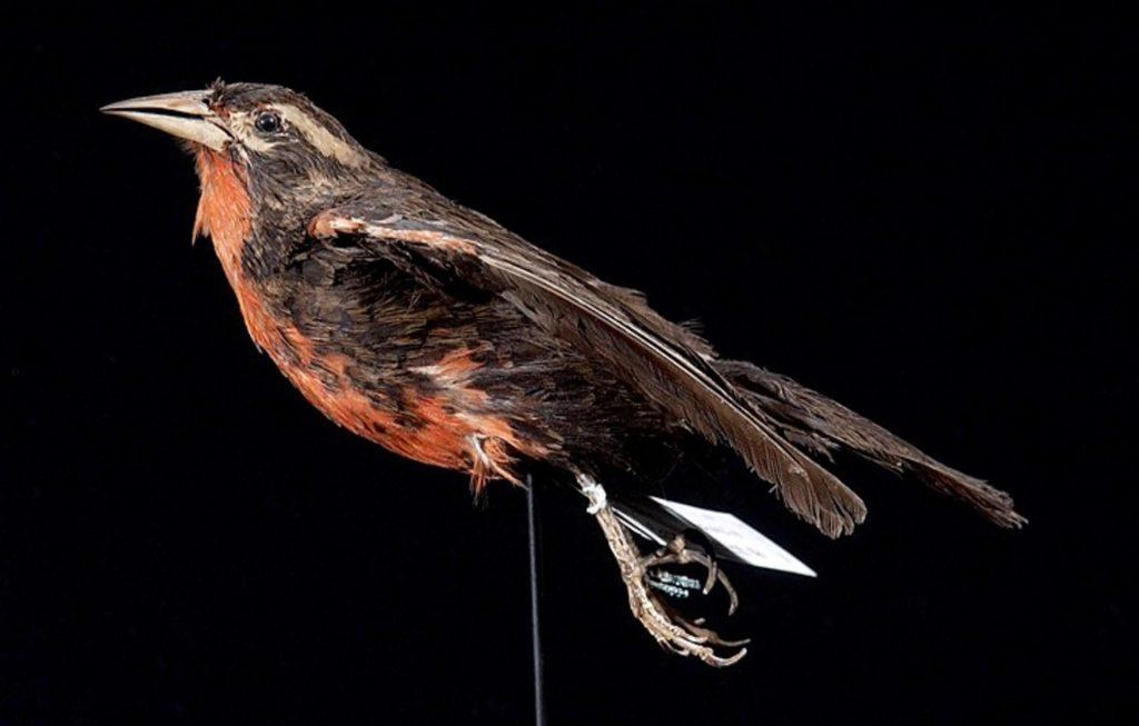 Peito-vermelho-grande (Sturnella defilippii). Foto: wikipédia.