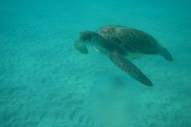 O governo federal publicou nesta segunda-feira (06) portaria para reduzir a captura e a mortalidade de tartarugas marinhas por embarcações pesqueiras. Foto: Mescal83/Flickr.