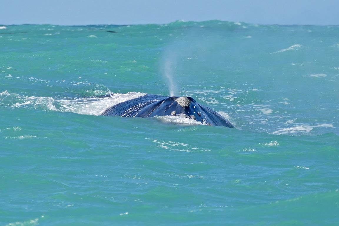 Após cinco anos de batalha judicial, a ONG Sea Sheperd conseguiu publicar o vídeo que mostra baleias sendo caçadas no Oceano Antártico. Foto: Bernard Dupont/Flickr.