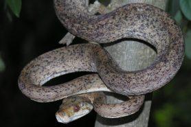 Cobra-veadeira (Corallus hortulanus). Foto: Thaís Guedes.
