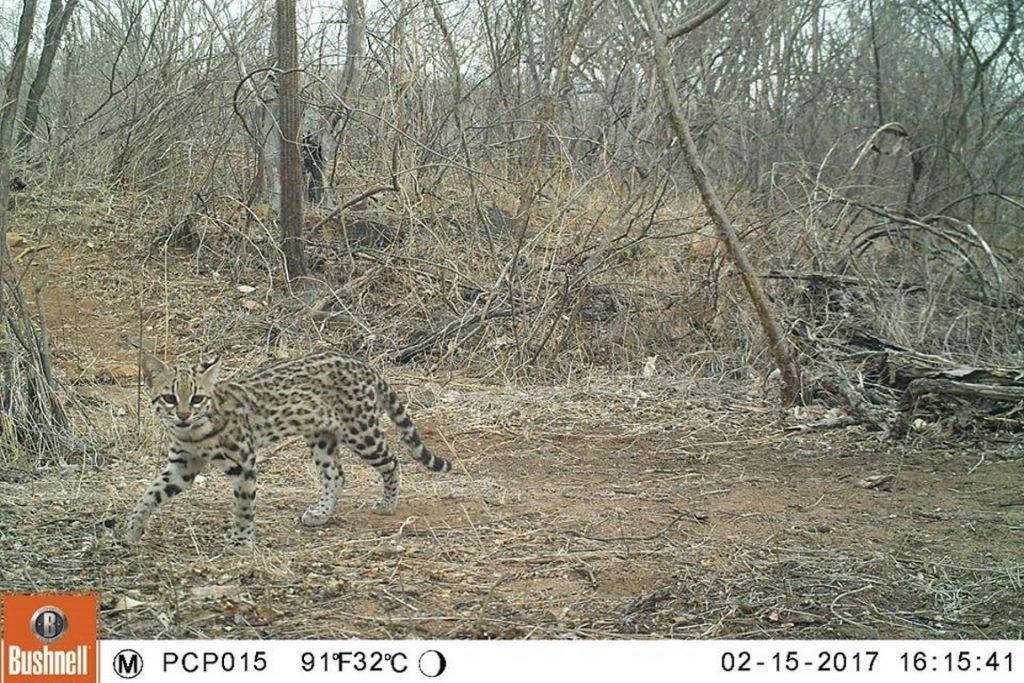 Gato-do-mato-pequeno (Leopardus emiliae). Foto: Projeto Caatinga Potiguar (UFRN-WCS).