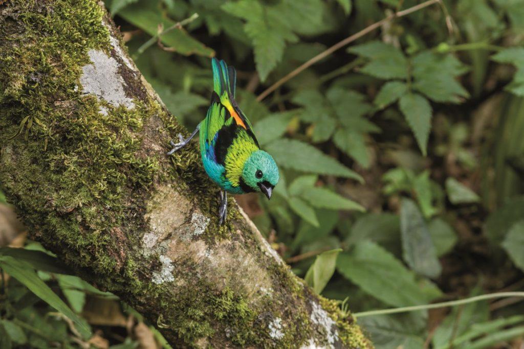 Saíra-sete-cores (Tangara seledon). Foto: Luciano Lima.