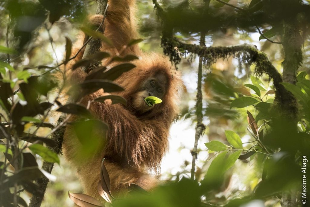 O orangotango-de-tapanuli (Pongo tapanuliensis) foi descrito esta semana por pesquisadores. Crédito: Maxime Aliaga.