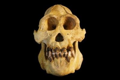 O crânio dos orangotangos-de-tapanuli é um pouco menor do que de seus parentes. Crédito: Nater e tal/ Current Biology.