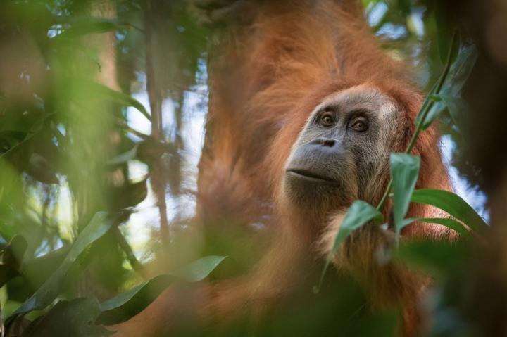 Conheça o mais novo primata do pedaço, o orangotango-de-tapanuli (Pongo tapanuliensis). Crédito: Andrew Walmsley.