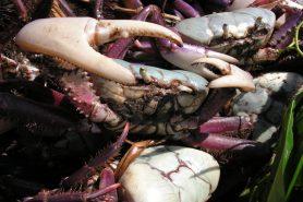 Defeso do caranguejo-uçá (Ucides cordatus) começa em janeiro. Foto: Tarciso Leão/Flickr.