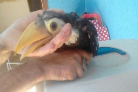 O tucano encontrado tem aproximadamente 30 dias de vida. Foto: Guarda Civil Municipal de Sorocaba. Divulgação/Facebook