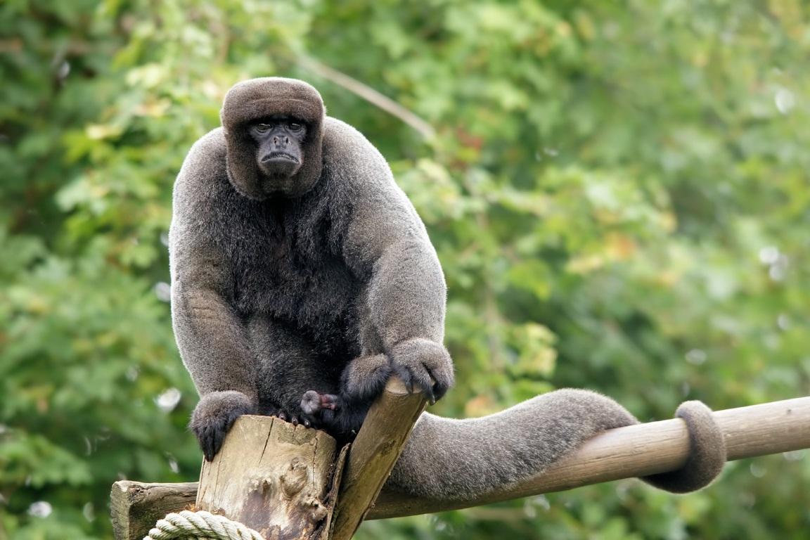 O Lagothrix lagotricha (macaco-barrigudo) está entre as espécies de primatas ameaçadas de extinção. Foto: bathyporeia/Flickr.