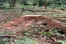Equipe do IAP encontraram árvores ameaçadas de extinção cortadas. Foto: IAP/Divulgação.