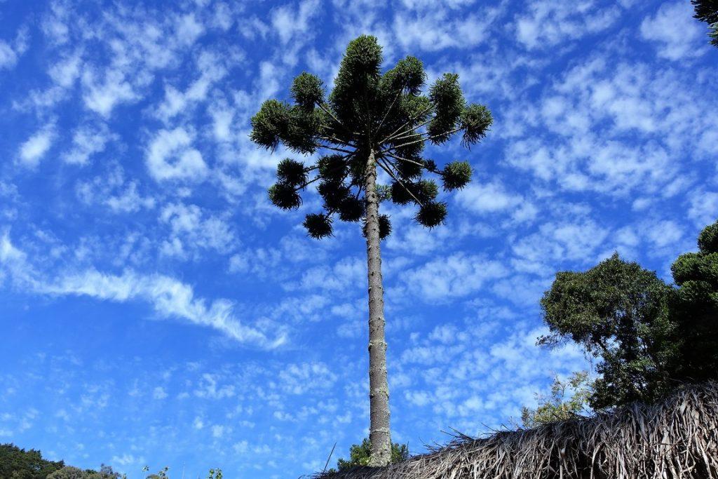 Sobrou muito pouco da Floresta com Araucária. Foto: Mauroguanandi/Flickr.