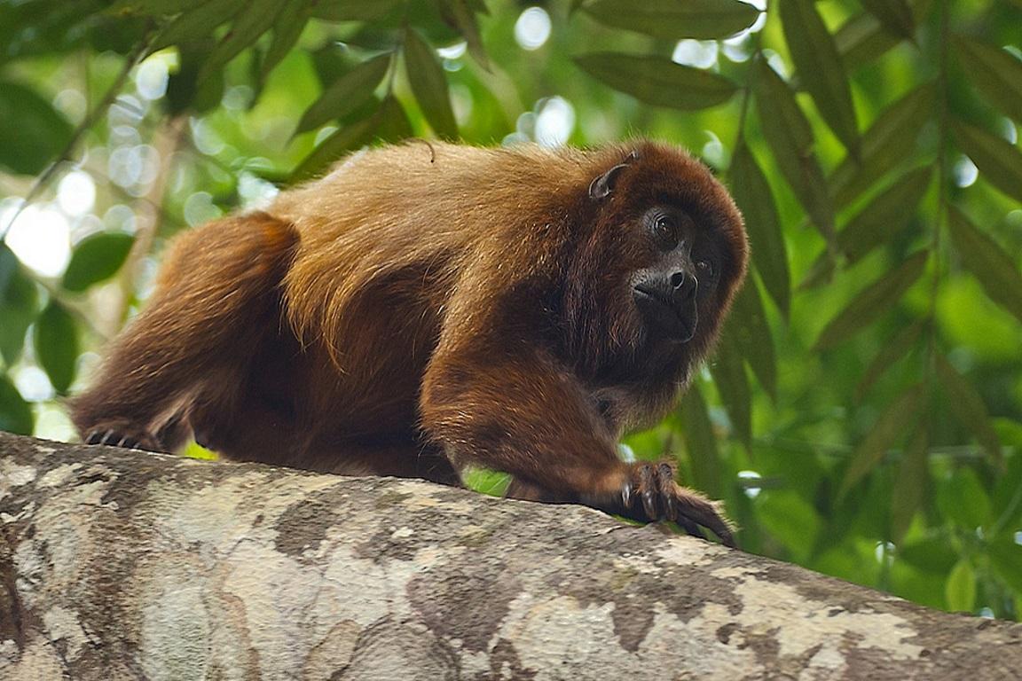 Os macacos-bugios ou bugios-marrons (Alouatta guariba) são extremamente vulneráveis à febre amarela. Foto: Peter Schoen/Flickr.