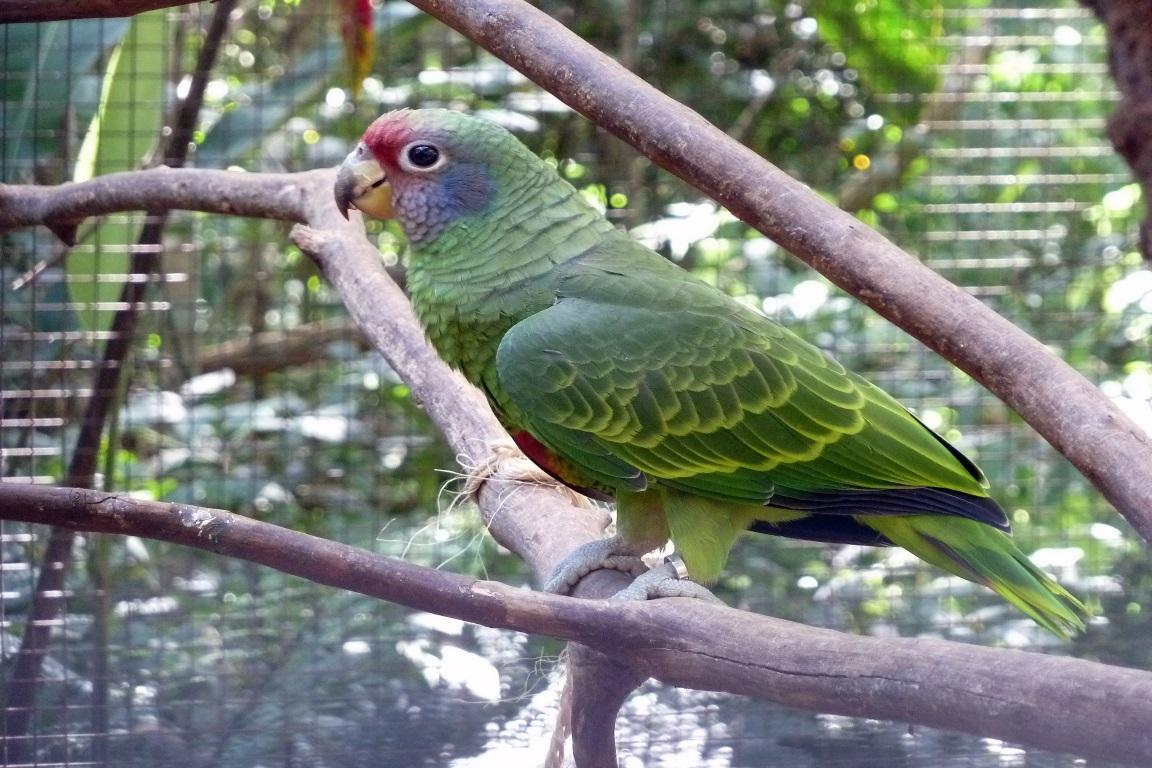 Desde 2004, o papagaio-de-cara-roxa (Amazona brasiliensis) era considerado vulnerável pela Lista Vermelha das Espécies Ameaçadas da União Internacional para a Conservação da Natureza (IUCN, em Inglês). Foto: Kee Yip/Wikimedia.