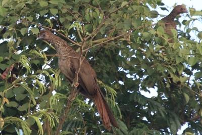 O Aracuã do Pinto sobrevive apenas em fragmentos florestais que pertencem a usinas de açúcar e álcool e outras empresas agrícolas. Foto: Fabio Olmos.