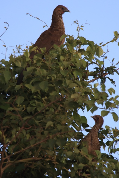 Aracuãs costumam ser vistos aos casais ou grupos familiares. Foto: Fabio Olmos.