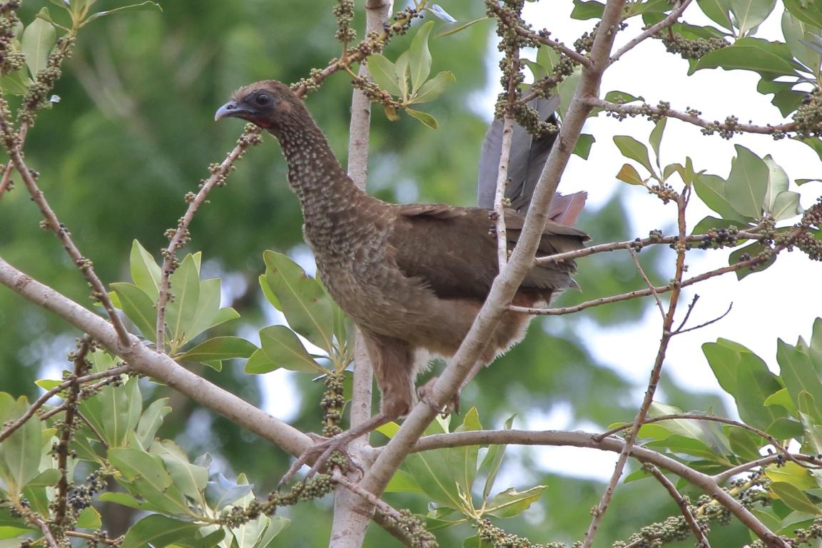 Aracuã do Pinto, uma ave que sobreviveu ao agro e o hidro