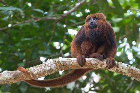 Além de quatro macacos encontrados mortos próximos à Floresta Nacional da Tijuca, outras áreas protegidas do estado do Rio de Janeiro também sofrem com o sumiço de macacos. Foto: Peter Schoen/Flickr.