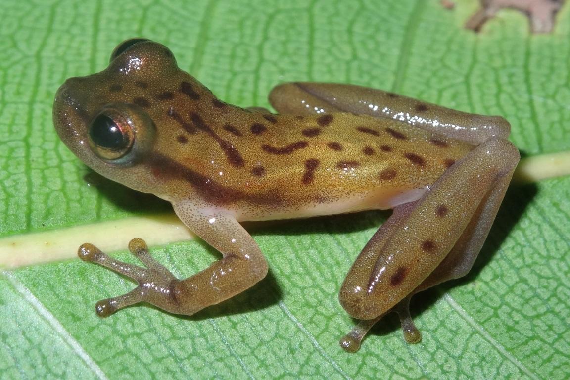 A espécie Phyllodytes amadoi foi encontrada no município de Una, na Bahia. Foto: Mirco Solé.