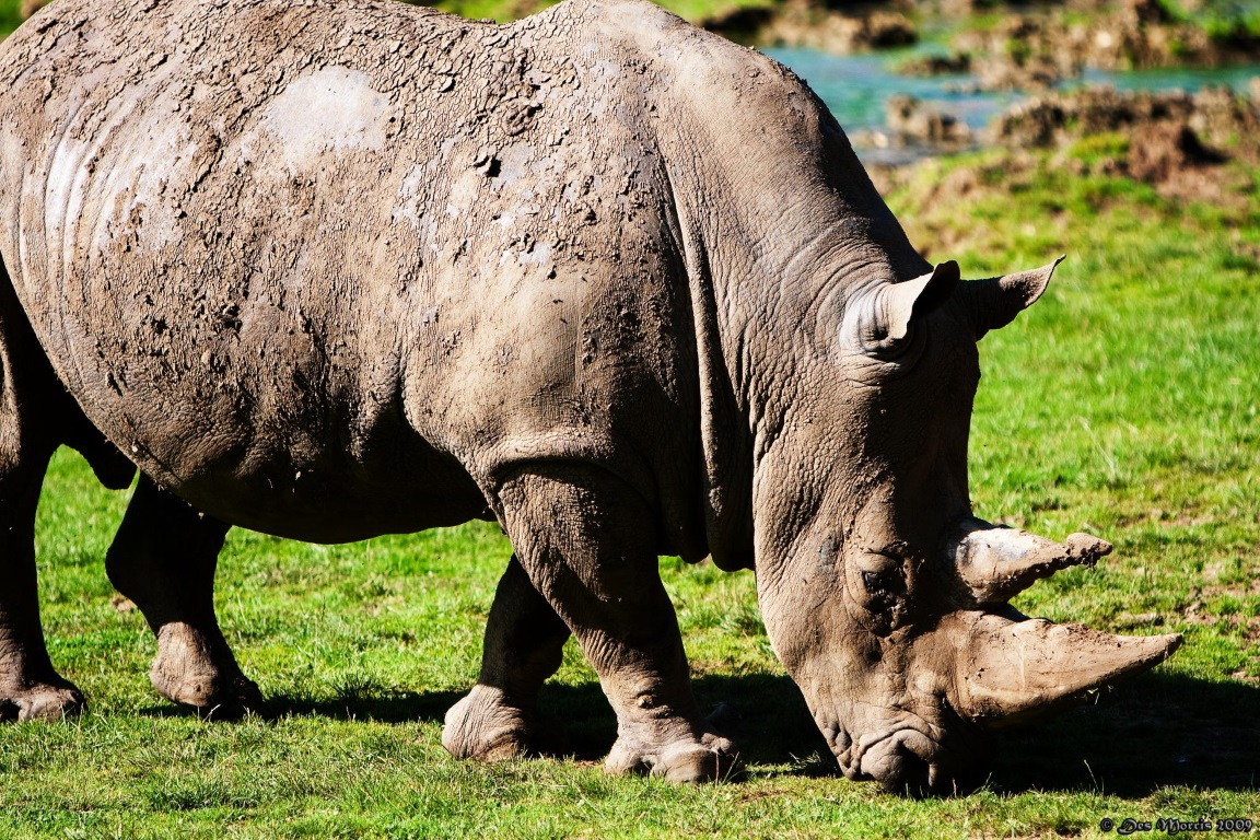 O extermínio tanto de elefantes quanto de rinocerontes na África é alimentado pelo tráfico ilegal de marfim, em que os chifres de rinocerontes e as presas dos elefantes são retirados. Foto: Des Morris/Flickr.