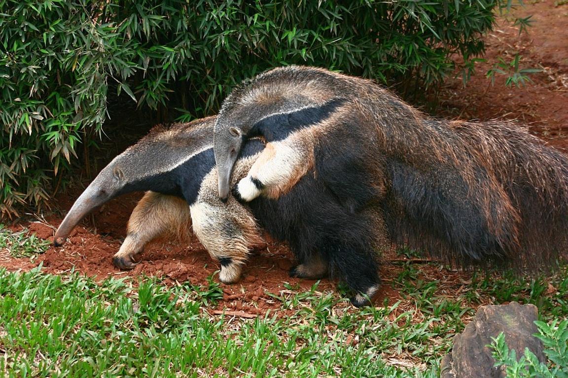 Pesquisa investiga como a fama de mau agouro afeta o tamanduá-bandeira