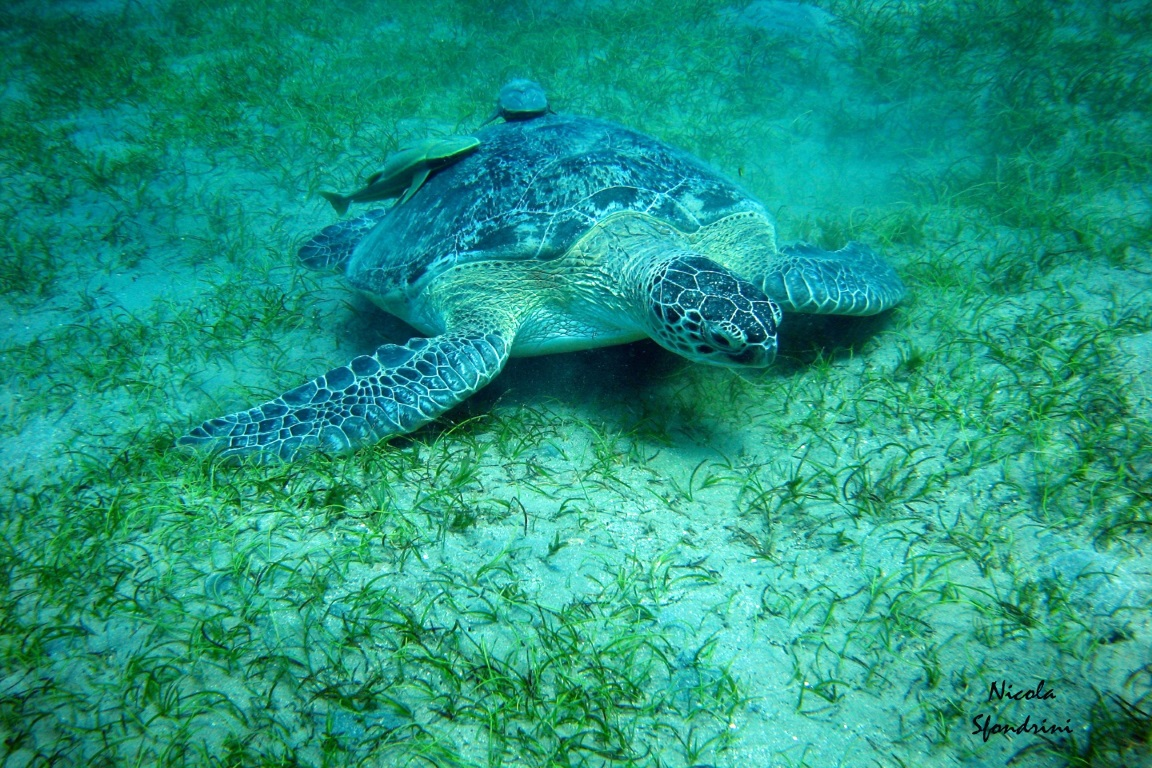 As temperaturas crescentes, ligadas às mudanças climáticas, são as responsáveis pelo desequilíbrio da espécie, porque a tartaruga-verde é uma espécie que têm o sexo determinado pela temperatura. Foto: Nicola Sfondrini.