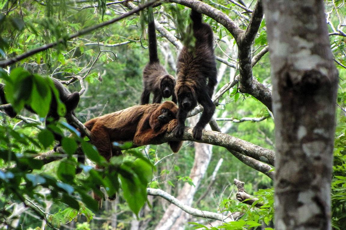 Como proteger os macacos contra a febre amarela