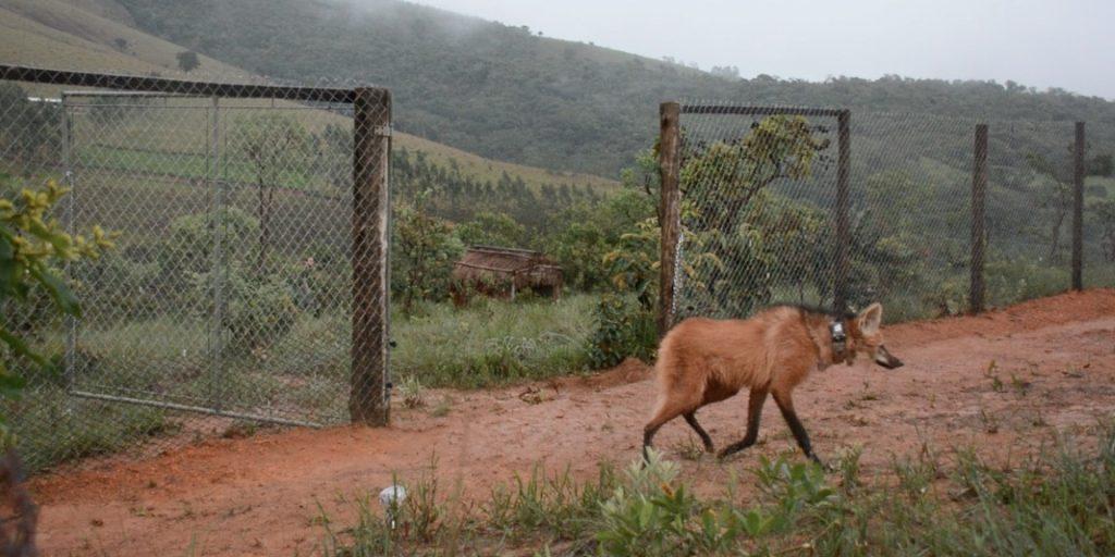 Lobinha ganhando a liberdade. Foto: Rogério Cunha de Paula.