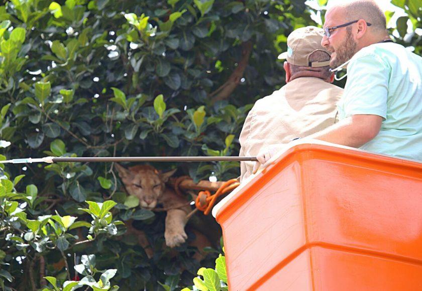 Parcialmente sedada onça foi atirada à rede de contenção. Foto: Franz Mendes