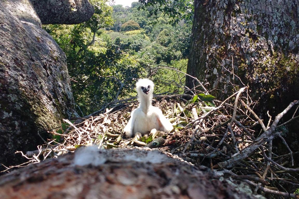 De quase herói a quase bandido: como não salvar um filhote de harpia