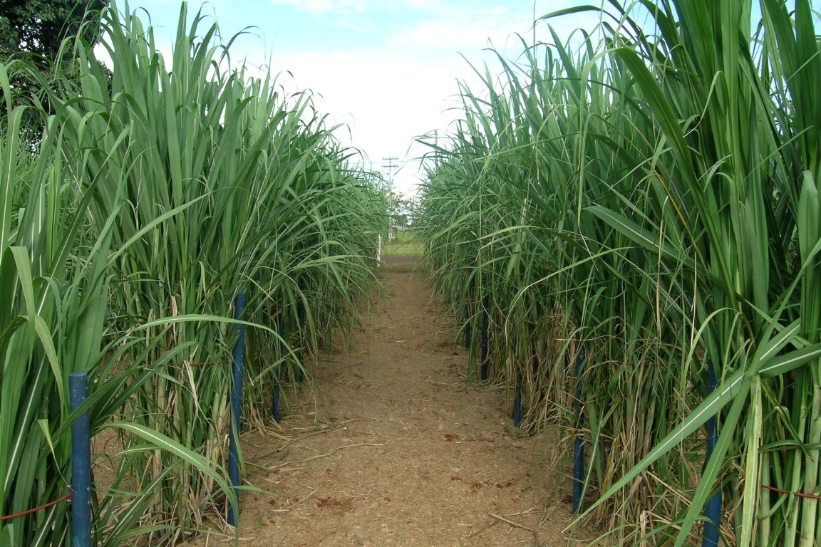 Science expõe os perigos da liberação da cana-de-açúcar na Amazônia