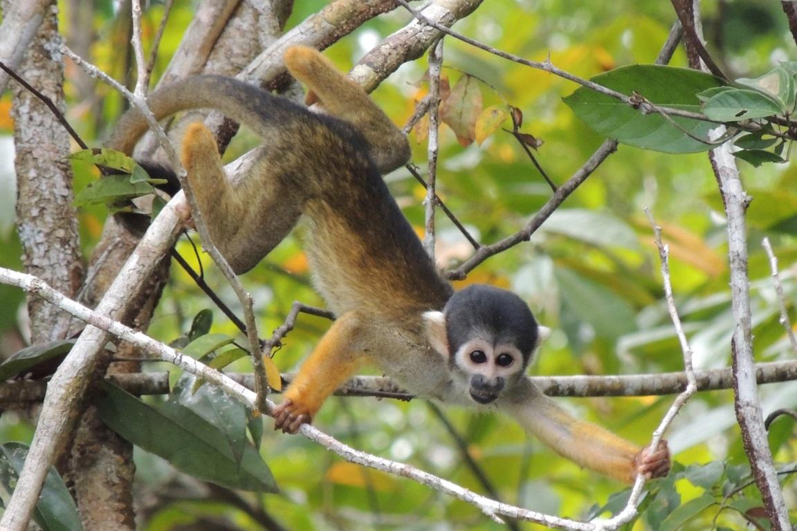 Barreiras ambientais separam micos-de-cheiro em Mamirauá