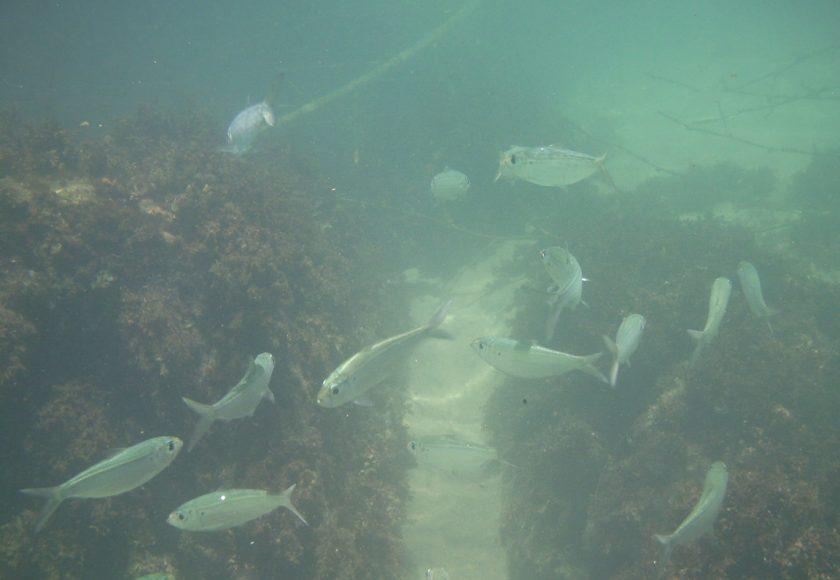 Sardinha-cascuda