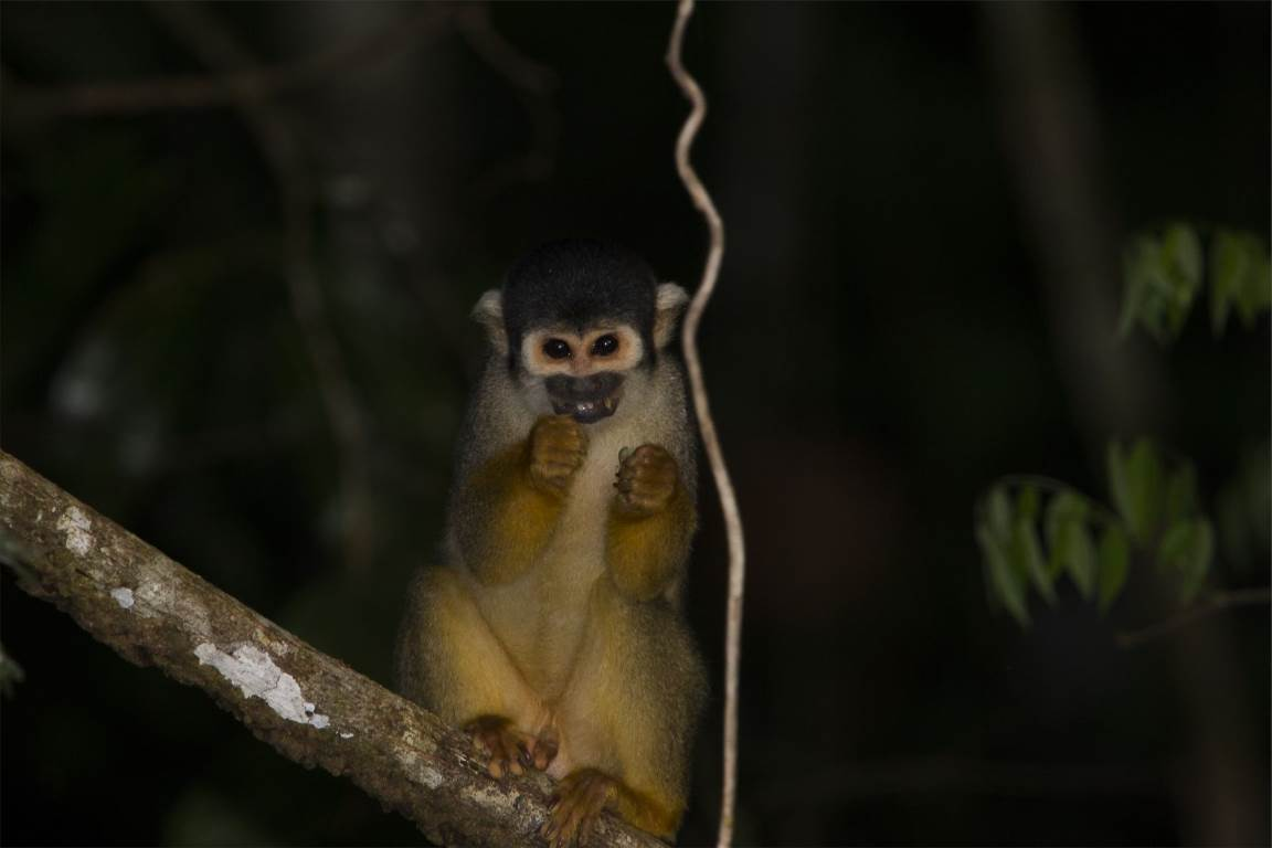 Revista científica reúne 14 artigos sobre primatas na Amazônia
