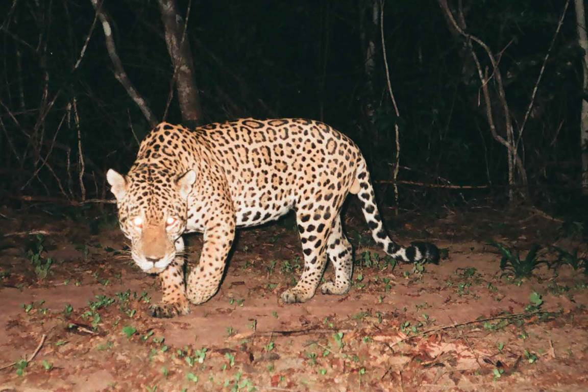 Onças e outros gatos são ameaçados pela caça na Caatinga