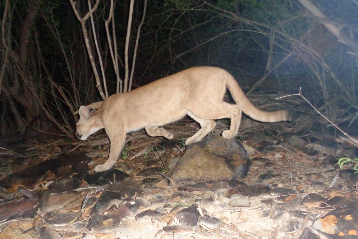 Vida e morte da primeira onça monitorada na Caatinga