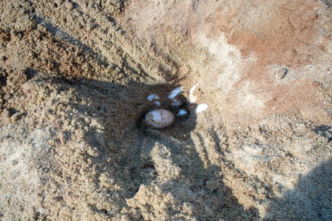 Pesquisa analisa os locais de desova das Tartarugas na Amazônia em praia