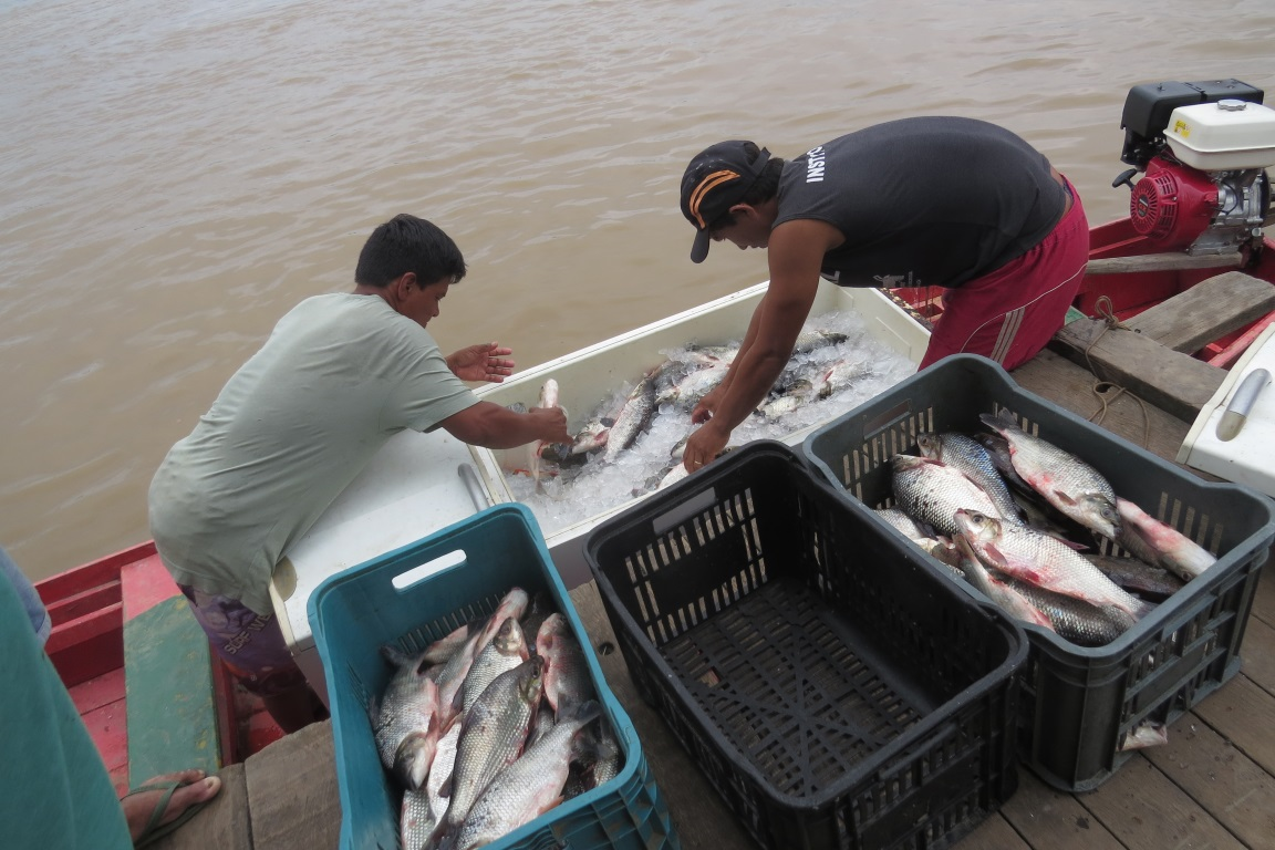Estudos confirmam prejuízos à pesca causados por usinas no Madeira