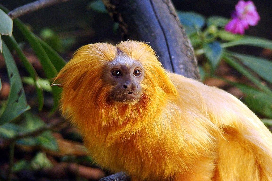Dois de agosto agora é o Dia do Mico-Leão-Dourado