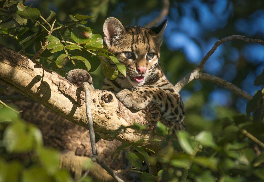 Jaguatirica (Leopardus pardalis). Foto: André Dib.