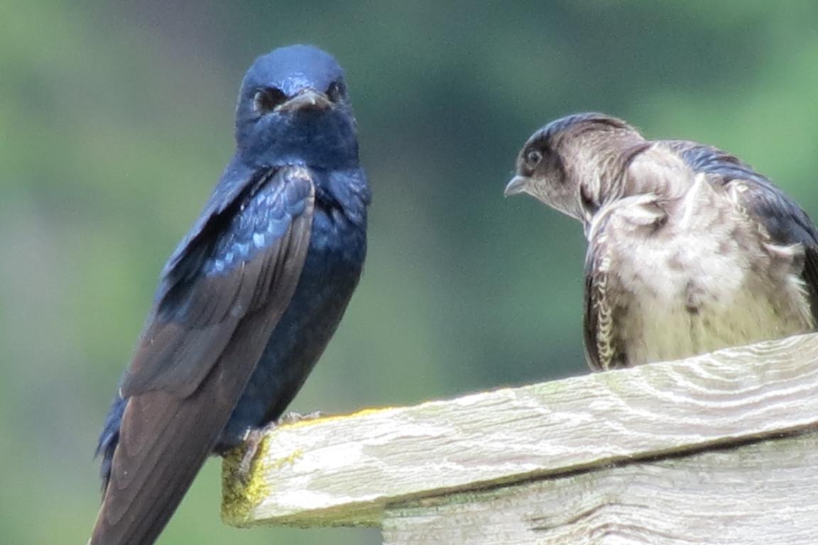 Americanos desenvolvem método para contar aves migratórias